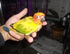 转让金太阳鹦鹉幼鸟 亚历山大鹦鹉幼鸟 手养聪明的