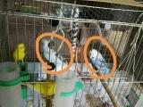 两对虎皮转让带笼子和繁殖箱,希望找个爱鸟的好主人