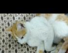 80转小母猫一只