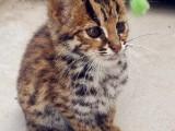 世界名宠只给你完美健康的爱宠 孟加拉蓝猫折耳等品种齐全