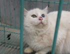 小白猫 鸳鸯眼 异瞳 临清狮子猫