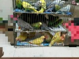 出售大头虎皮鹦鹉和黄桃脸牡丹鹦鹉