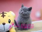 英短蓝猫 渐层 蓝白 蓝猫幼猫 英国短毛猫(包纯种健康)