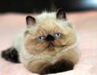 猫舍专业繁殖加菲猫带出生纸血统证明