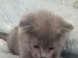 家庭猫舍血统加菲弟弟妹妹,可上门看猫