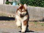 海口阿拉斯加怎么卖的 灰色阿拉斯加多少钱 红色熊版阿拉斯加