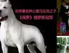 3个月的杜高犬4800元(公母均有)