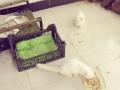 狮子猫波斯猫鸳鸯眼白色英短母