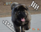 **高加索猛犬 高加索多大 高加索多少钱 俄系高加索