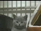 自家2个半月纯种蓝猫出售