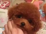 小巧玲瓏泰迪熊 茶杯玩具泰迪熊出售血統純正公母