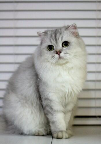 金吉拉是猫中贵族 性情温文尔雅聪明敏捷幼猫出售