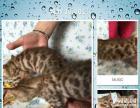 8只豹猫DDMM出售