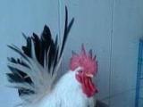 个体户出售观赏鸡,观赏鸽。