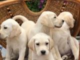 中山板芙出售宠物狗,纯种拉布拉多幼犬狗狗出售,包纯种,包健康