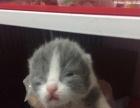 自家繁殖的英短蓝猫、蓝白萌宝宝们接受预定