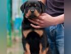 上海哪里卖罗威纳犬幼犬上海罗威纳多少钱一只被防爆犬罗威纳图片