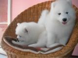 500起出售犬舍直销纯种萨摩幼犬 微笑天使 疫苗齐全 包纯种