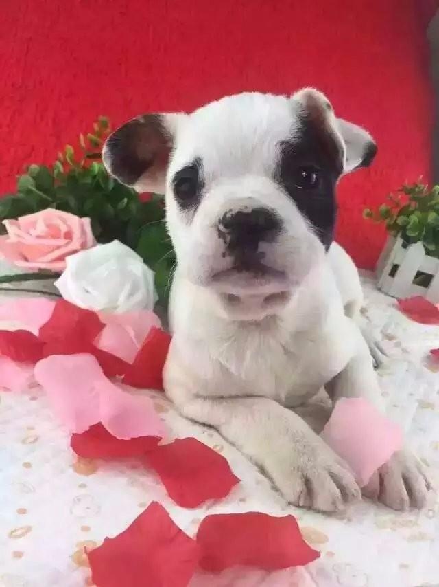诚心出售漂亮可爱纯种斗牛宝宝,喜欢的朋友来挑选