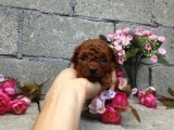 哪里有卖纯种双血统泰迪犬纯种的长什么样子