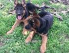 德牧犬-保纯种-保健康 疫苗驱虫均已做完 可签协议