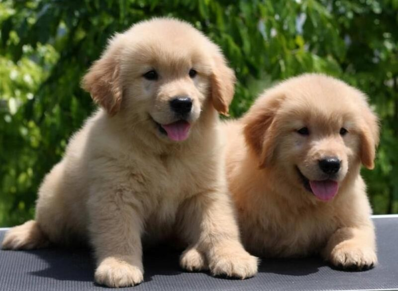 金毛犬什么地方买好 纯种金毛幼犬多少钱 金毛犬好不好养