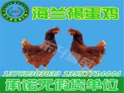 想买好的鸡苗就到东升禽苗孵化公司 _贵州鸡苗批发价格