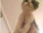家有一只苏格兰折耳猫,想送爱猫人