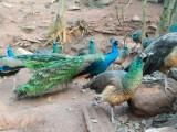 陵水純種的藍孔雀苗養殖基地