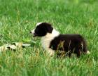 犬舍繁殖双血统边境牧羊犬 七百到位 可签协议