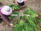 供应优质黄菖蒲种苗 菖蒲种苗 常绿鸢尾苗 承接菖蒲种植