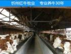 忻州市育肥肉牛价格
