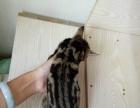 棕虎斑美短毛猫800 猫咪价格以标题为准