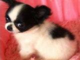 诚信交易 纯种蝴蝶幼犬 健康终身保障 签协议送狗用品