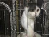 家养蓝白母猫特价转让