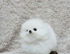本地出售健康活泼的球体博美犬 小体哈多丽博美 高贵华丽