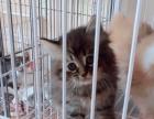 美短猫咪公母都有