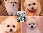 上海犬舍繁殖 精品比熊犬 法国卷毛比熊犬 宠物狗幼犬 可视频