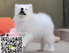 淄博哪里卖萨摩耶犬 纯种萨摩耶幼犬多少钱 熊版萨摩耶图片