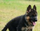 拒绝欺骗 珠海本地高品质黑背犬出售 包健康纯种