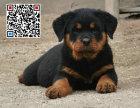 哪里出售罗威纳犬 纯种罗威纳犬多少钱