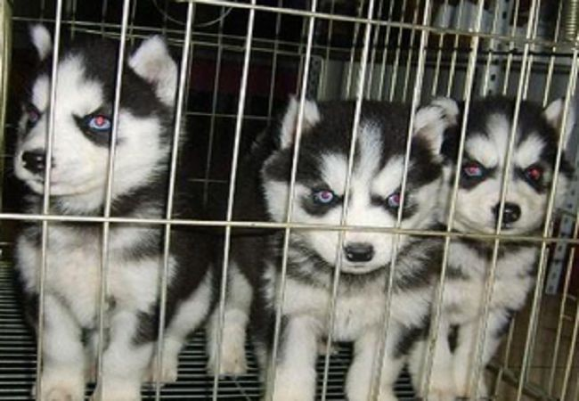 出售哈士奇犬高端品质可签订协议