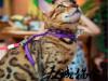 纯种豹猫,猫舍繁殖,