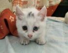出售鸳鸯眼的小猫