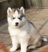 犬舍领养纯种哈士奇幼犬 免费领养品质优良 签订活体协议