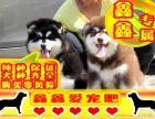 阿拉斯加幼犬 最好品质 签订协议 来场可看狗父母