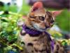 猫舍出售纯种健康孟加