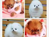 杭州本地出售世界各类名犬 支持上门看狗加微信有折扣
