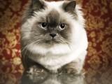 萌宠波斯猫 身体健康活泼可爱 视频看猫 上门亲选