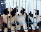 江门哪有边境牧羊犬卖 江门边境牧羊犬价格 边境牧羊犬多少钱